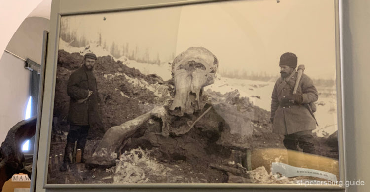 Photo of the mammoth, found during the archaeological excavations. Zoological museum, St Petersburg